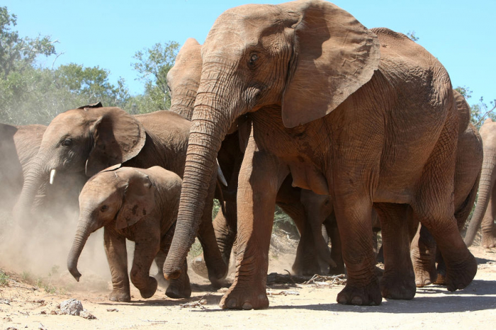 Биологи изучили, какой генетический механизм стоит заутратой африканскими слонами бивней. Статья об этом была опубликована вжурнале Science. Инт...